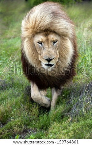 The mane of a lion is ruffled by the wind. - stock photo