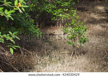 The mangrove tree - stock photo