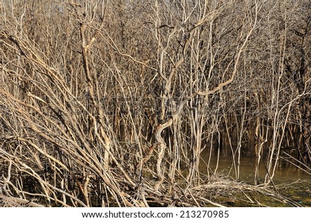 The mangrove tree at low tide and degradation - stock photo