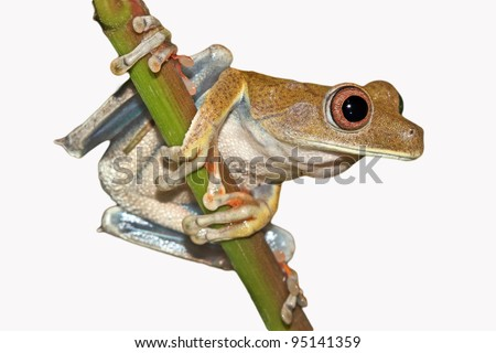 The Map Treefrog (Hypsiboas geographicus) in the Peruvian Amazon Cutout and Isolated on white with space for text - stock photo