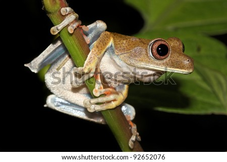 The Map Treefrog (Hypsiboas geographicus) in the Peruvian Amazon