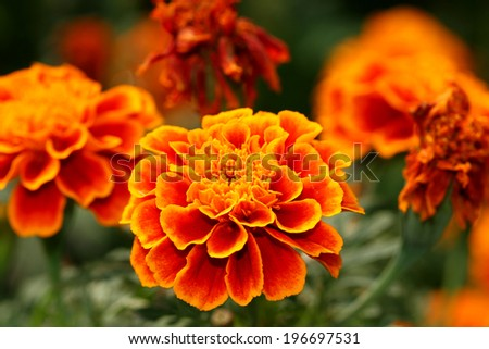 The marigold flower in the Queen sirikit park, Thailand - stock photo