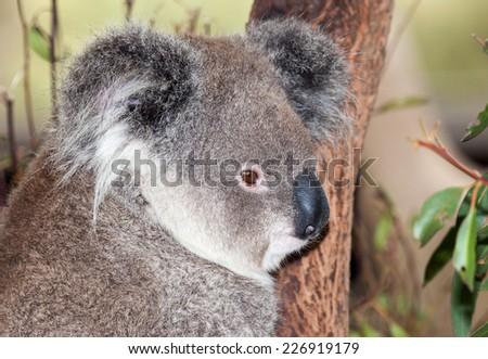 the marsupial koala portrait against a tree background - stock photo