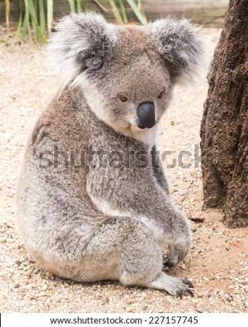 the marsupial koala who only eats gum leaves and is rarely seen on the ground - stock photo