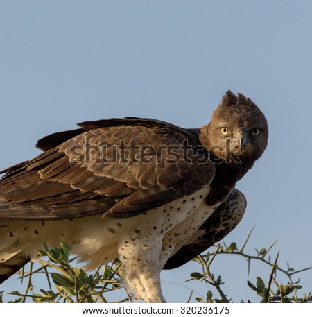 The Martial Eagle - stock photo
