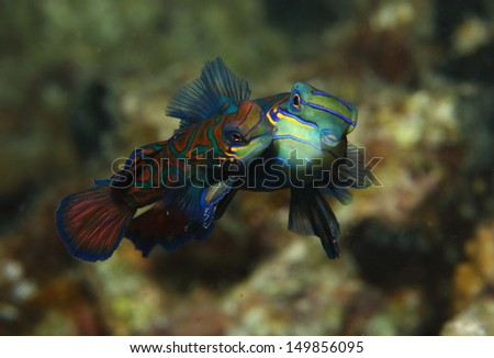 The Mating Dance of the Mandarin fish. This can only be seen just after sunset in a few locations around the world. - stock photo