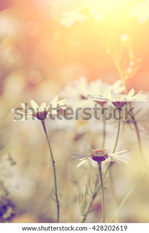 The medicinal field blossoming plant - a camomile. - stock photo