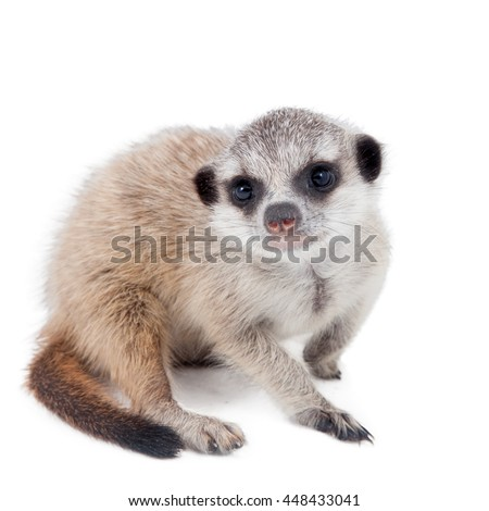 The meerkat or suricate cub, Suricata suricatta, isolated on white - stock photo