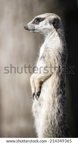 The Meerkat or Suricate, is a small carnivoran belonging to the Mongoose family, they live in Kalahari Desert, Namib Desert and South Africa. - stock photo