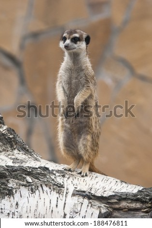 The meerkat or suricate  is a small mammal belonging to the mongoose family.
