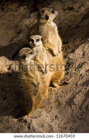 The meerkat or suricate Suricata suricatta is a small mammal and a member of the mongoose family