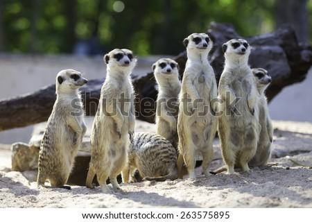 The Meerkat standing abreast - stock photo
