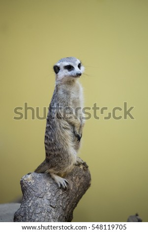 The meerkat standing on a log