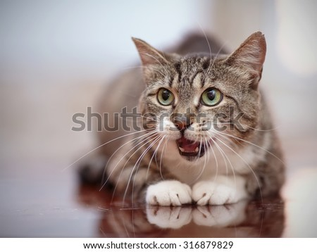 The mewing gray striped domestic cat with green eyes. - stock photo
