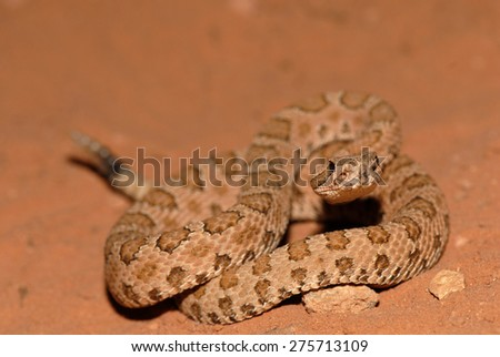 The midget faded rattlesnake is a small rattlesnake found in parts of the western United States. - stock photo