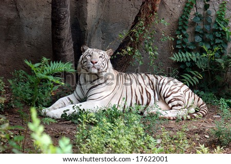 The Mighty White Tiger - stock photo