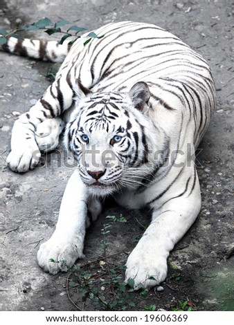 The Mighty White Tiger
