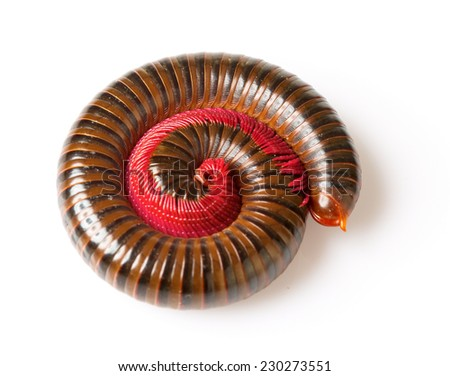 The millipede is insects that have several legs. - stock photo