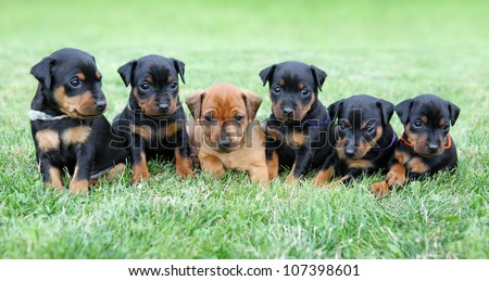 The Miniature Pinscher puppies, 1 months old - stock photo