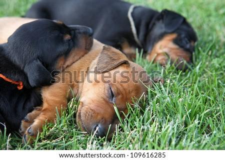The Miniature Pinscher puppies, 1 months old - stock photo