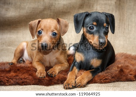 The Miniature Pinscher puppies, 2 months old - stock photo
