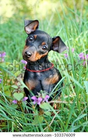 The Miniature Pinscher puppy, 3 months old - stock photo