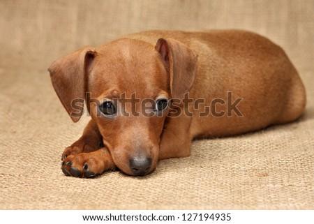 The Miniature Pinscher puppy, 2 months 1 week old - stock photo