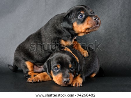 The Miniature Pinscher puppy, 3 weeks old, lying in front of black background - stock photo