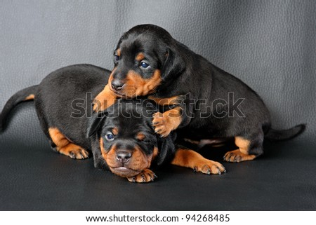 The Miniature Pinscher puppy, 3 weeks old, lying in front of black background