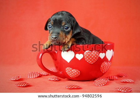 The Miniature Pinscher puppy, 3 weeks old, lying in front of red background