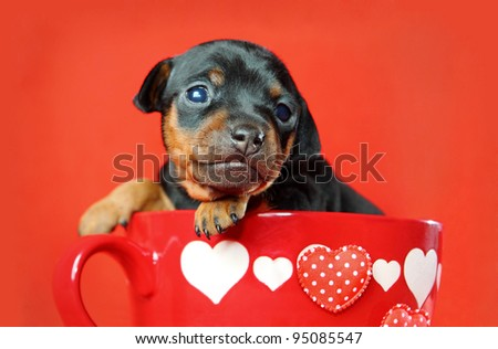 The Miniature Pinscher puppy, 3 weeks old, Valentine's day - stock photo
