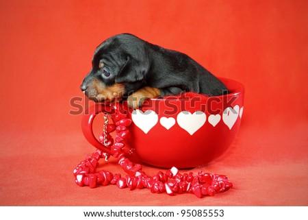 The Miniature Pinscher puppy, 3 weeks old, Valentine's day - stock photo