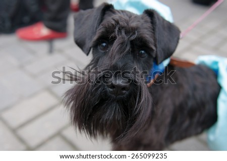 The Miniature Schnauzer is a breed of small dog of the Schnauzer type. - stock photo