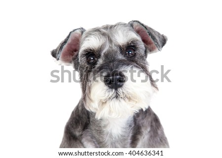 The Miniature schnauzer isolated with white background - stock photo