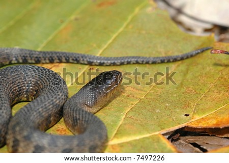 The Mississippi Green Water Snake is an endangered species in much of it's natural range. - stock photo