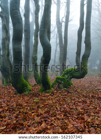The misty autumn forest with beech trees growing on the slope. - stock photo