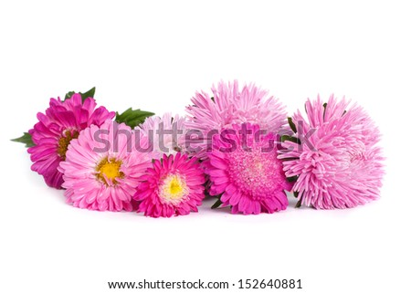 The mix of colors of pink aster isolated on white background - stock photo