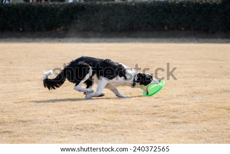 The moment Border collie catching frisbee with its mouth open - stock photo