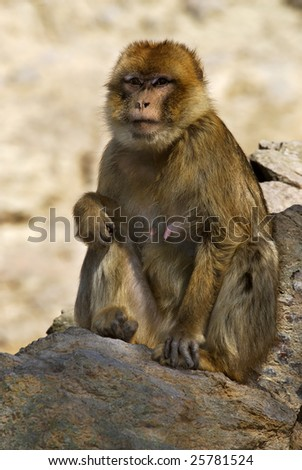 The monkey, without a tail a macaque Magot - stock photo