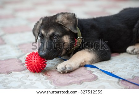 The 2-month-old puppy of a German shepherd  dog (East European sheepdog) plays with a ball. Shallow DOF.