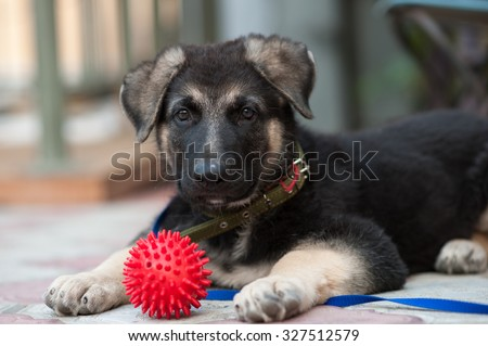 The 2-month-old puppy of a German shepherd  dog (East European sheepdog) plays with a ball. Shallow DOF. - stock photo