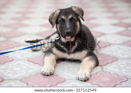 The 2-month-old puppy of a German shepherd  dog (East European sheepdog). Shallow DOF.