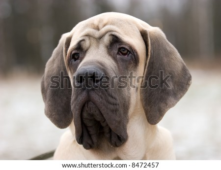 The 6 month puppy of mastiff dog - stock photo