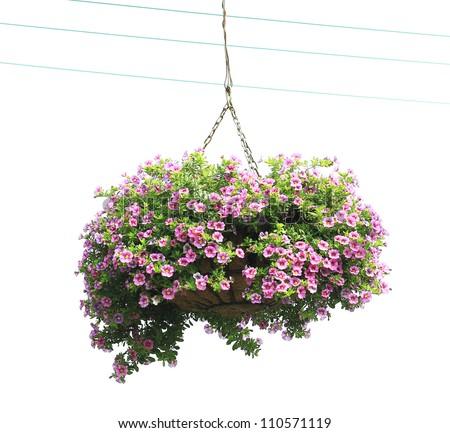The morning glory of basket of flowers isolated on white background - stock photo