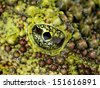 The Mossy Frog Theloderma corticale eye close-up - stock photo