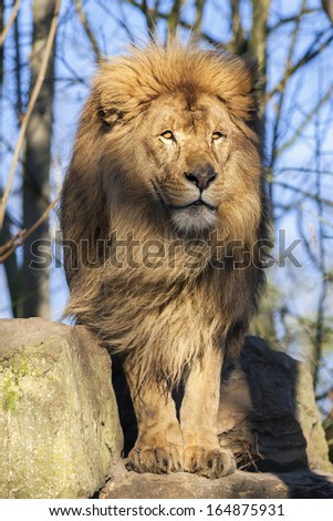 The most beautiful lion