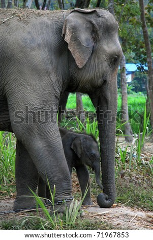 The mother elephant with calf