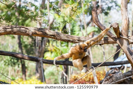 The motion of Gibbon swing itself at KK zoo, Thailand - stock photo