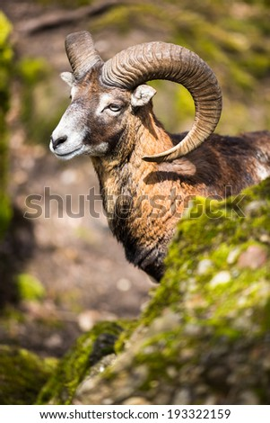 The mouflon (Ovis orientalis) - stock photo