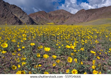 The mountains of Death Valley National Park covered in yellow wildflowers. - stock photo